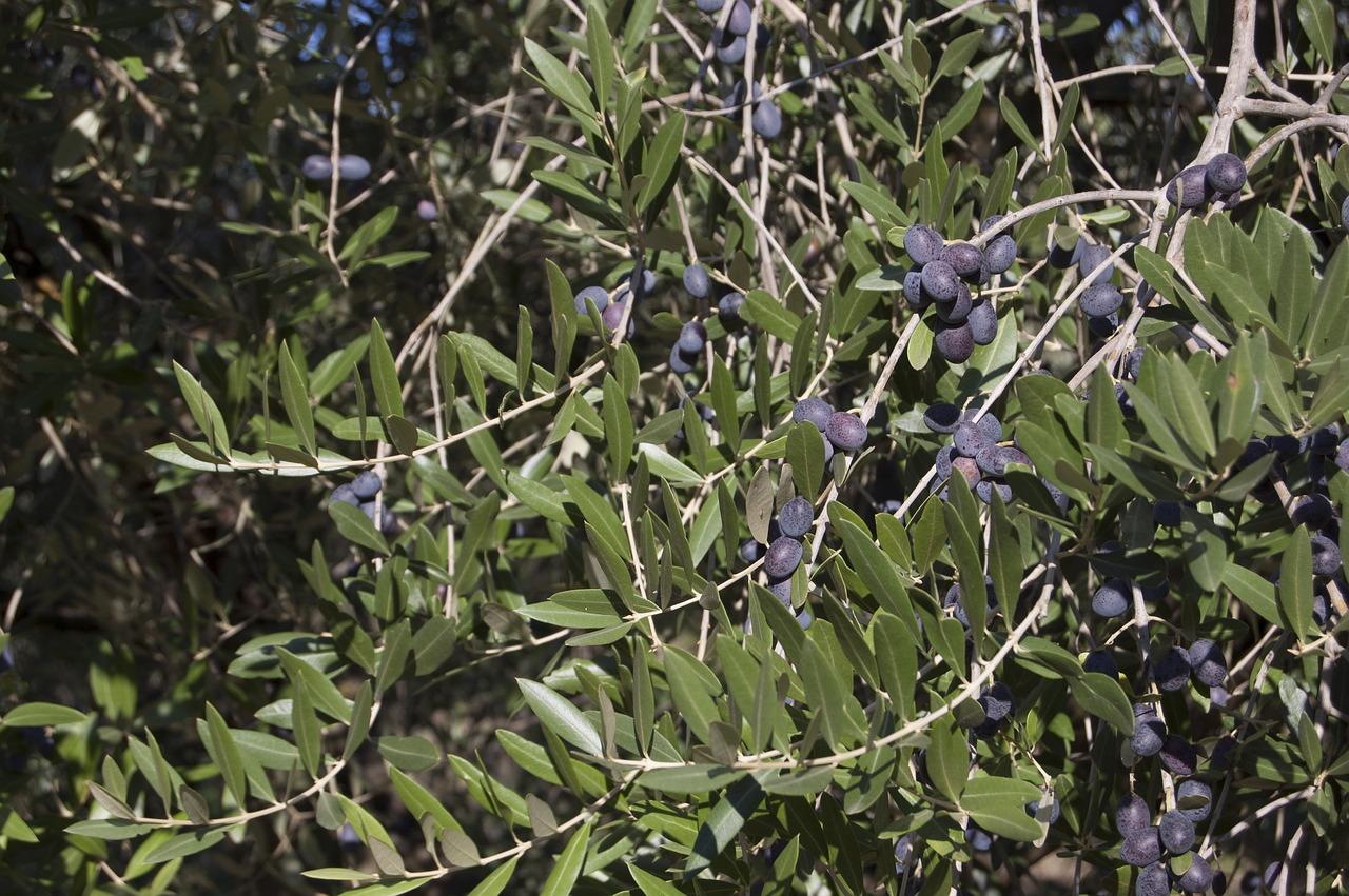 Olivenöl-Ernte